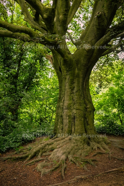Tree, Parliament Hill, Hampstead Heath park - London, England, 2016