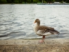 Meditating Greylag Goose - Hyde Park, London, England, 2016